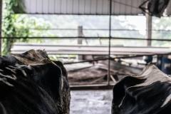 Emaciated dairy cows. Taiwan.