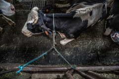 A dairy cow tethered by her neck in a barn. Taiwan.
