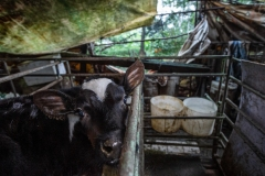 A segregated calf in a small crate at a dairy farm. Taiwan.