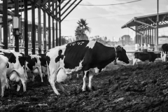 Dairy cows on piles of manure in an open-air barn. Israel, 2018.