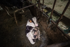 Tethered calf in a dairy barn. Taiwan, 2019.