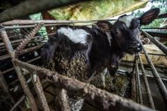 A sick calf at a dairy farm. Taiwan, 2019.