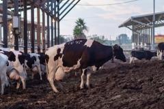 A dairy farm. Israel, 2018.