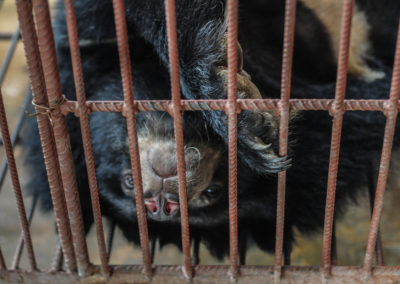 Bear Bile Farming