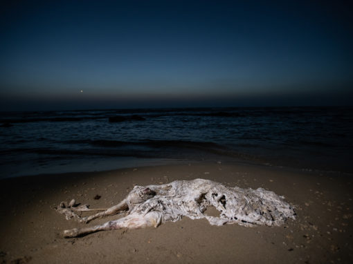 Dead Calf On A Beach, Israel, 2018.