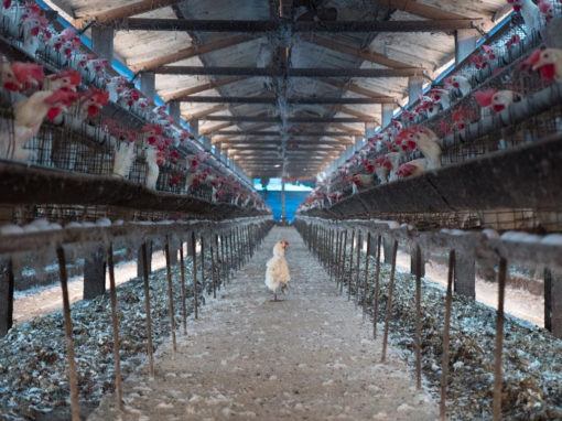 Hen at an Industrial Egg Farm. Taiwan, 2019.