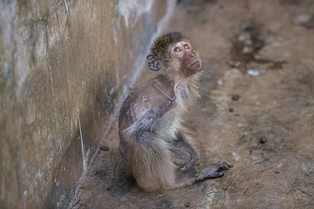 Macaque Breeding Facility