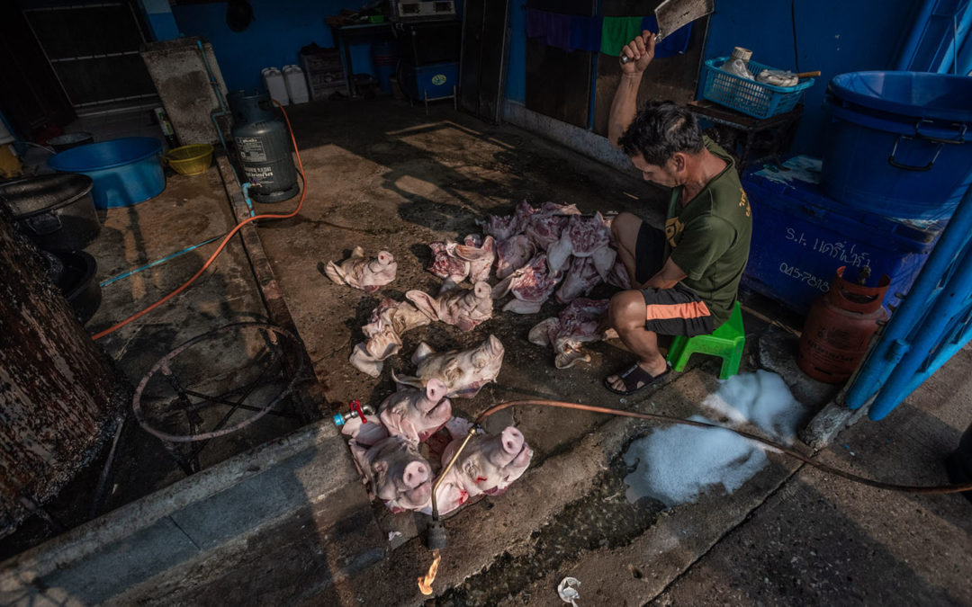 An Expose on Animal Clubbing at Thai Slaughterhouses