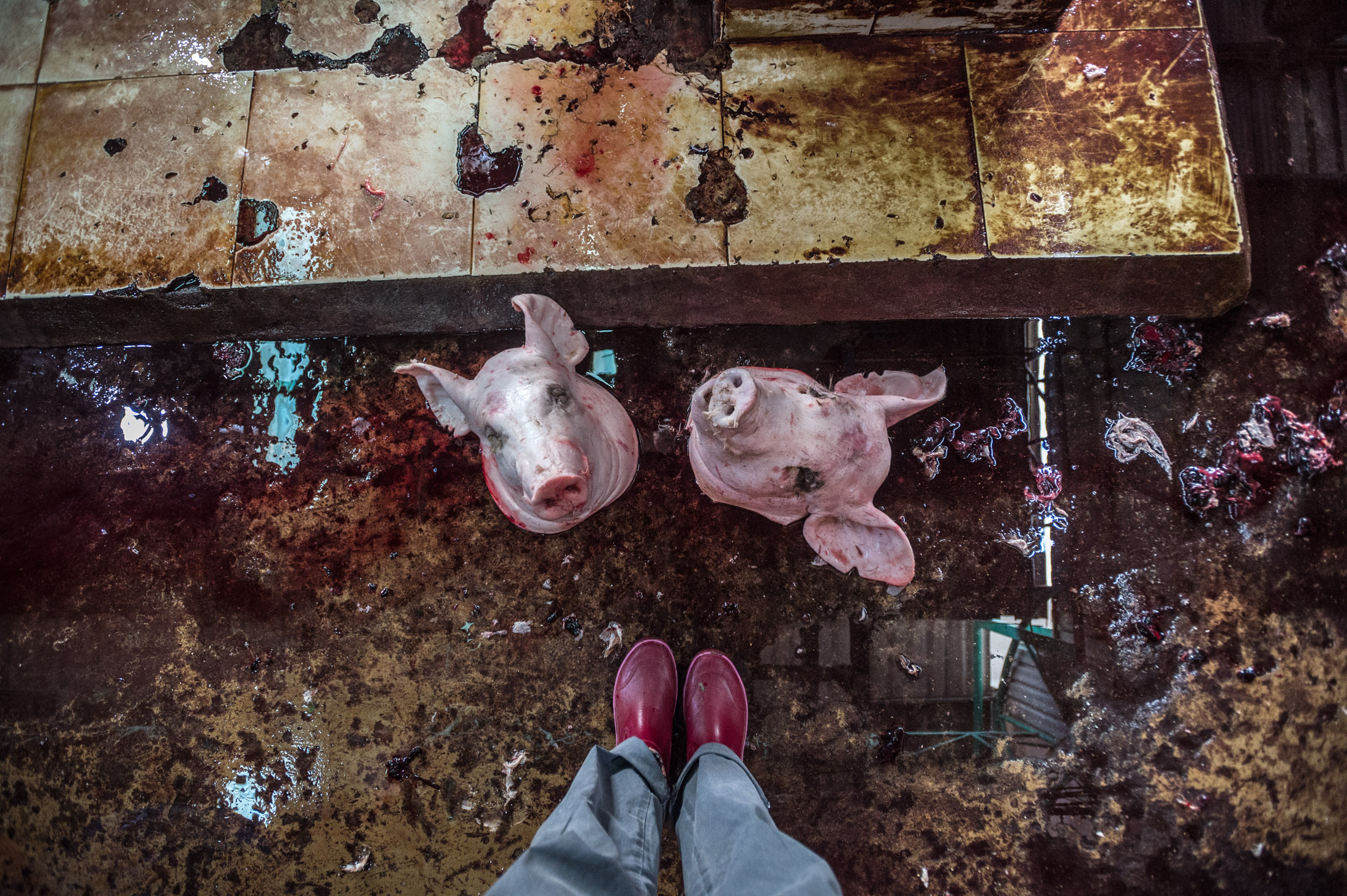 An Expose on Animal Clubbing at Thai Slaughterhouses - We