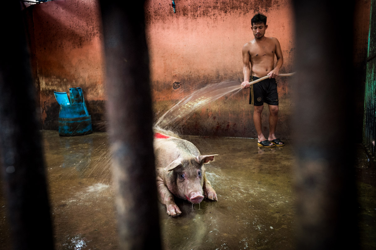An Expose on Animal Clubbing at Thai Slaughterhouses - We Animals Media