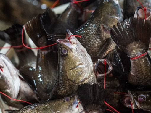 Prolonging Death: The Practice of Fish Tethering in Asia