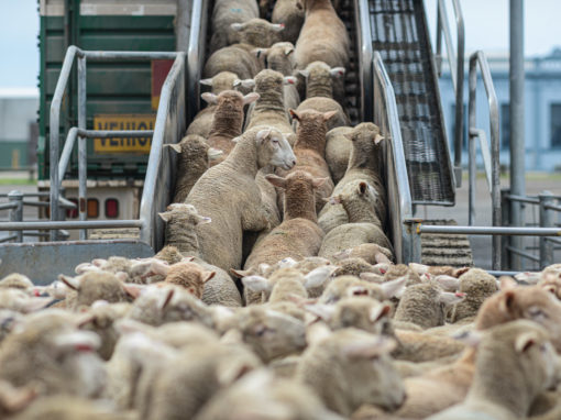 Live export: The Longest Journey