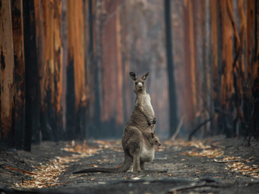Disaster Response: How Australia Is Failing Its Wildlife