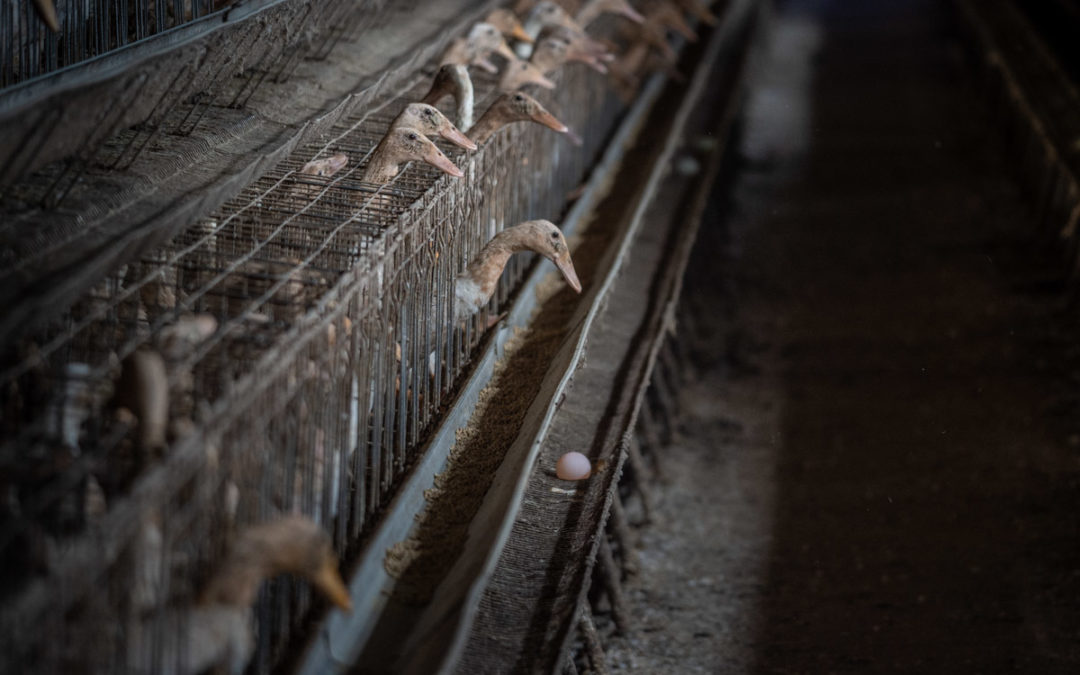 The rise of caged duck farming in Taiwan