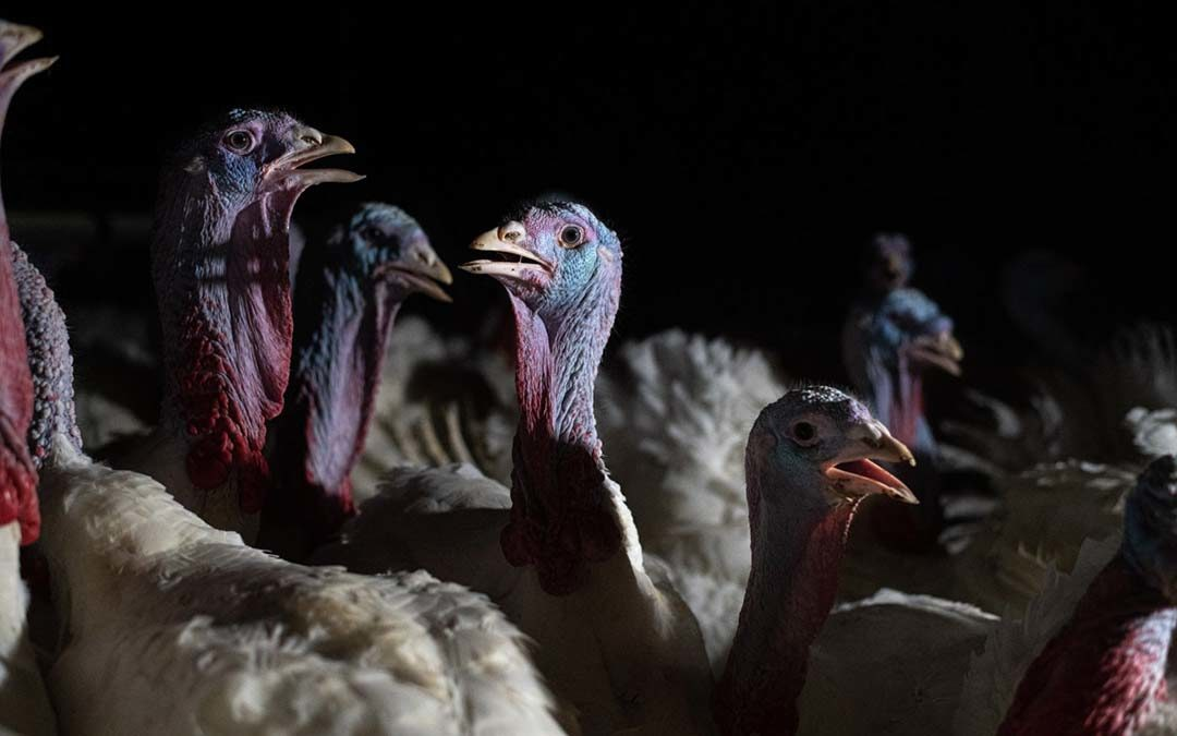Inside the Industrial Turkey Machine